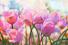 20 happy spring quotes - sayings about spring and flowers Spring Blooms, Spring Flowers, Happy Spring, Spring Time, Spring Quotes, Spring Images, Spring Starts, Pastel Background, Pink Tulips