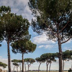 Ebene – Vereinzelte Pinien auf Ebene vor Rom. Die Weite hinter den Bäumen lässt eher Afrika als an die Mitte Italiens vermuten. 2013, MD   © www.piqt.de   #PIQT