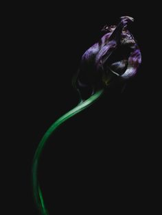 Decaying tulip was shot by Billy Kidd.