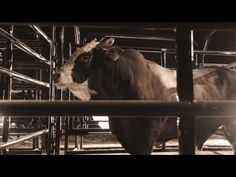 Remembering PBR Bucking Bull Mick E Mouse - Published on Aug 12, 2015. The PBR mourns one of the greatest bucking bulls of the sport Mick E Mouse. Read the press release here: http://www.pbr.com/en/news/press-releases/2015/8/pbr-mourns-loss-of-world-champion-bull-contender-mick-e-mouse.aspx