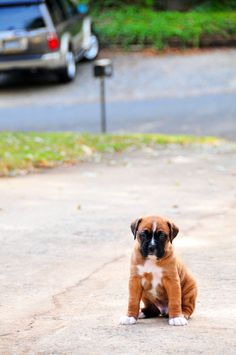 Best Boxer Chubby Adorable Dog - 8faf51fd895b2e2019c1f9388c97ca4a--boxing-day-boxer-puppies  Perfect Image Reference_32218  .jpg
