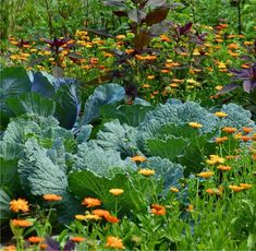 Companion Planting at Portland Nursery and Garden Center in Portland, Vancouver, Lake Oswego. Veg Garden, Edible Garden, Easy Garden, Vegetable Gardening, Garden Ideas, Calendula, Gardening For Beginners, Gardening Tips, Plant Zones