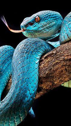 Bello color azul de serpiente.