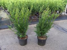 Taxus media 'Groenland' in pot (40-50cm)