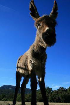 Eselfohlen - puledro asino - donkey foal