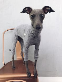 italian greyhound and whippet clothes / iggy jumpsuit / Dog Sweater / dog clothes / ropa para galgo italiano y whippet/ GRAY JUMPSUIT Snood Pattern, Underwear, Indian Elephant, Cute Baby Animals, Wild Animals, Siberian Tiger, Italian Greyhound, Snow Leopard, Whippet