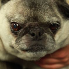These Pugs Getting Face Massages Will Brighten Your Day