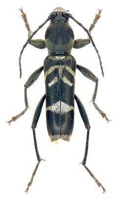 Chlorophorus sumatrensis (Laporte & Gory, 1841) - det. D.G. Kasatkin (Cerambycidae)