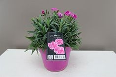 Beautiful Gift Plant - Carnation - Dwarf Pot Carnations - Fragrant Purple, pink and white flowers - Spring flower - Patio and border plant - Ideal low maintenance garden plant - Attract butterflies - Wildflower - Fully hardy outdoor flower. Best4garden http://www.amazon.co.uk/dp/B00V50S7K4/ref=cm_sw_r_pi_dp_5jyevb1DQGWJA