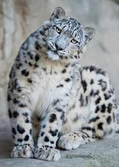 The snow leopard's powerful build allows it to scale great steep slopes with ease. Its hind legs give the snow leopard the ability to leap six times the length of its body. A long tail provides balance and agility and also wraps around the resting snow leopard as protection from the cold. There are less than 7,000 leopards still alive.