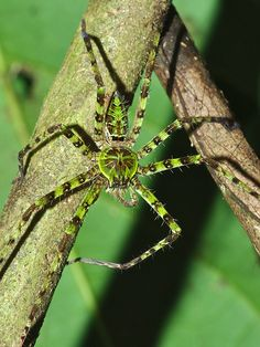 LICHEN HUTSMAN SPIDER of Borneo (Heteropoda boiei) ©pbertner As adults, huntsman spiders do not build webs, but hunt and forage for food: t...