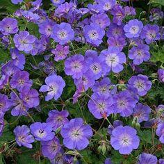 She flowers and flowers Hardy Geranium, All Plants, Growing Plants, Garden Plants, Chelsea Flower Show, Clematis, Plant Catalogs, Patio Planters, Gardens