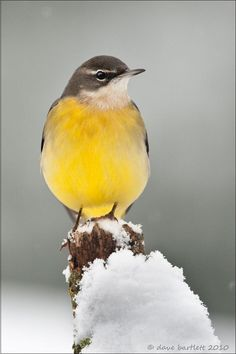 The Grey Wagtail (Motacilla cinerea) is a small member of the wagtail family. The species is widely distributed, with several populations breeding in Europe and Asia and migrating to tropical regions. I Like Birds, Birds 2, Grey Wagtail, Ostriches, Tiny Bird, How To Attract Birds, Birds Eye View, Bird Feathers, Animals