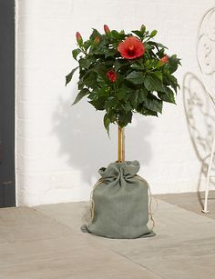 Hibiscus Tree | M&S Hibiscus Tree, Hessian Bags, Presents, Colours, Seasons, Space, Classic, Plants, Outdoor
