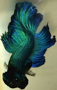 Blue green plakat bred by Jay Loo