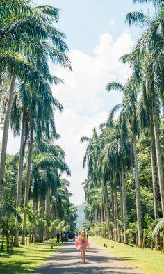 Palm Tree Avenue, Royal Botanical Garden, Kandy, Sri Lanka