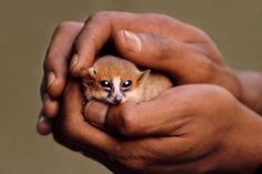 Brown mouse lemur - Mint Images - Frans Lanting/Mint Images - Frans Lanting/Getty Images