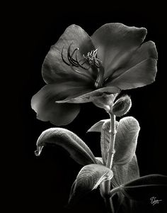 Princess Flower in Black and White