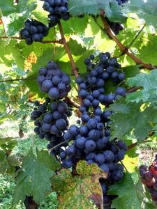 The hardy and versatile Concord grape is one of the most popular grapes to grow in US gardens. You can eat them fresh off the vine, or make jams, jellies or wine with them, and they are commercially used to make grape juice. Aquaponics Diy, Aquaponics System, Hydroponics, Grape Vine Trellis, Grape Vines, Fruit Garden, Edible Garden, Herb Garden, Grapevine Growing