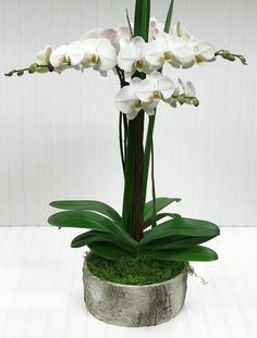 This seasonally designed double stem orchid plant is a sophisticated gift perfect for any occasion. Orchid Plants, Orchids, Cut Flowers, Fresh Flowers, White Plains, Flower Shops, Blossom Flower, Flower Delivery, Decking