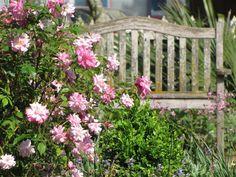 Old Blush rose
