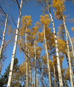 my very favorite tree: the birch