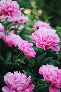 Beautiful Flowers Wallpapers, Beautiful Rose Flowers, Unusual Flowers, Amazing Flowers, Pink Flowers, Peony Arrangement, Beautiful Flower Arrangements, Camellia Plant, Peonies And Hydrangeas