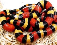 falsa coral. Snake Wallpaper, Coral Wallpaper, Jungle Animals, Animals And Pets, Cute Animals, Milk Snake, Cool Snakes, Cute Snake, Python Snake