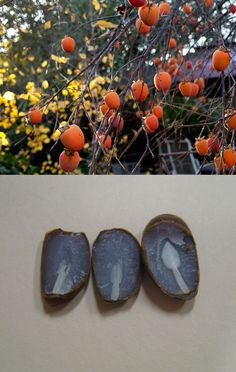 Folklore says the upcoming winter weather can be predicted by studying split persimmon seeds.  The shape (of the cotyledon) that shows up the most inside each seed will indicate what kind of winter to expect. A fork shape predicts a mild winter. A knife shape means there will be a cold, icy winter.  A spoon shape indicates there will be plenty of snow to shovel. #South #Southern