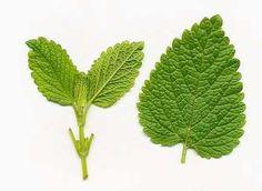 """Lemon Balm (Melissa officinalis) – Botany, Therapeutic Uses, Constituents, Pharmaco, Adverse Effects - Writing in the fourth century BC, Theophrastus described some of the characteristics of melissophyllon, the Greek term for lemon balm. As the literal translation of this term is """"loved by bees,"""" it illustrates that the ancients were, along with insects, attracted by the scent of this plant."""