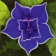 Blue Picotee Morning Glory - it doesn't look real!