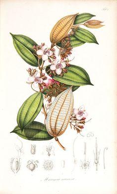 Colección de cumpleaños número 200 del Real Jardín Botánico de Sydney de impresiones botánicas de edición limitada
