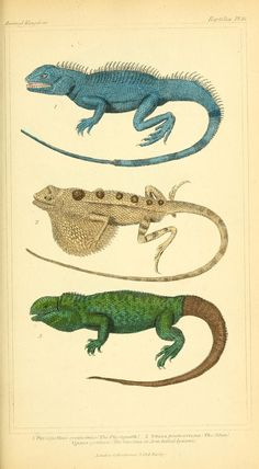 Reptilia. The animal kingdom, arranged according to its organization, serving as a foundation for the natural history of animals v.2 plates London :G. Henderson,1834-1837 Biodiversitylibrary. Biodivlibrary. BHL. Biodiversity Heritage Library