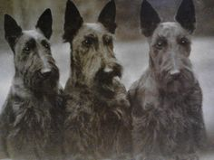 Such a distinguished looking trio! Scottie Dogs Photograph reproduction from by chickboutique on Etsy Scottish Terrier, Baby Dogs, Dogs And Puppies, Doggies, Yorkshire Terrier Dog, Animal Magic, Dog Rules, Vintage Dog, Terrier Dogs