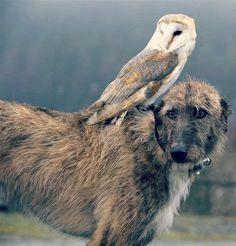 irish wolfhound with owl sitting on head   irish wolfhound owl friends