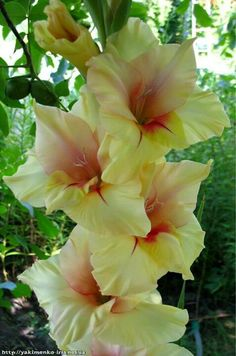 Gladiolas ♥♥ They come in SO MANY GORGEOUS COLORS!