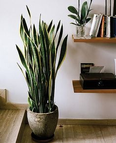 Mother In laws Tongue These Resilient Houseplants Will Survive Your Busy Schedule