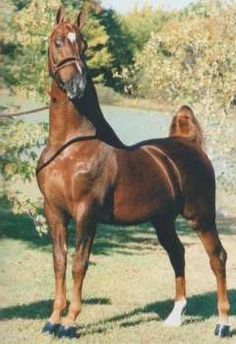 American Saddlebred stallion Show Me Too.  He was sired by CH Will Shriver.