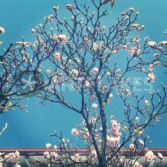 """Magnolia Tree"" Fotografie von Antonia Hauck jetzt als Poster, Kunstdruck oder Grußkarte kaufen.. Magnolia Trees, Woods, Poster, Canvas, Outdoor, Art Print, Printing, Tela, Outdoors"