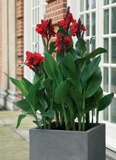 Botanical name: Canna indica 'Purpurea'  Common name: Canna  Zone: Tender rhizome  Height: 5 to 7 feet  Light: Sun  ANNUALS, BULBS, RHIZOMES