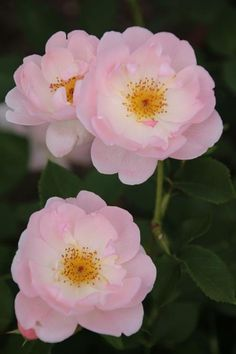 ~'The Lady's Blush' roses~