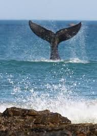 whales frolicking at Middleton Beach • Adelaide city highlights • Adelaide's beaches