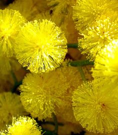 Acacia - golden wattle, or mimosa. Masses of fluffy yellow flowers Australian Wildflowers, Australian Native Flowers, Australian Plants, Australian Garden, Exotic Flowers, Yellow Flowers, Wild Flowers, Beautiful Flowers, Le Mimosa