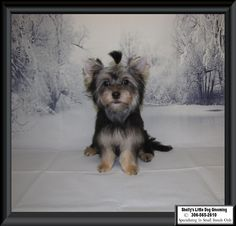 Remi Small Breed, Little Dogs, Dog Grooming, Animals, Little Puppies, Animales, Animaux, Animal, Animais