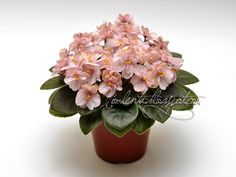 Rob's Perfect Peach (R. Perfect Peach, Saintpaulia, Unusual Flowers, Pansies, Houseplants, Gardening Tips, Orchids, Succulents, Bloom