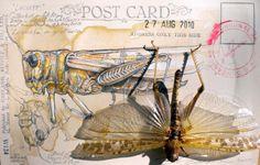 Natural History Postcard Locust Study UK Artist Duncan Cameron