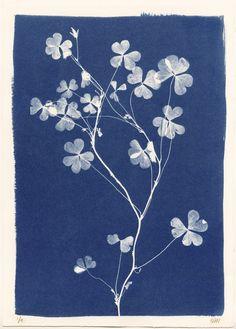 Sri Lankan Clover Cyanotype by Henrietta Molinaro at Wilson Stephens & Jones www… – stem Botanical Art, Botanical Illustration, Illustration Art, Cyanotype Process, Sun Prints, Alternative Photography, Art Inspo, Printmaking, Art Photography