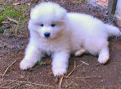 I can't wait to get a Samoyed someday!