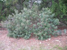sumac tree texas - Google Search