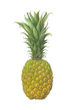 Pineapple Botanical Illustration on Watercolor by GalleryBotanica